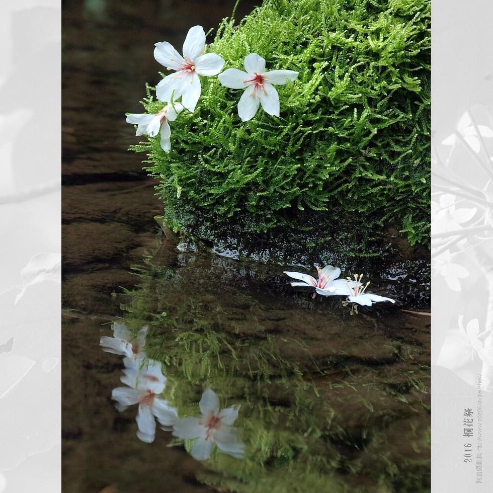 2016 桐花祭-燒炭窩